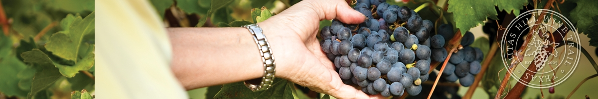 Picture of a hand holding grapes on the vine.